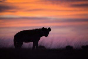 west zambia liuwa plains wildlife photography hyena sunset