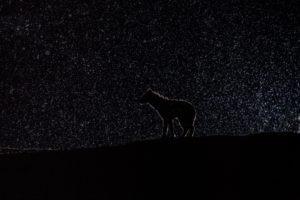 west zambia liuwa plains wildlife photography hyena under the stars