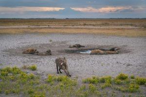 west zambia liuwa plains wildlife photography hyenas dry season