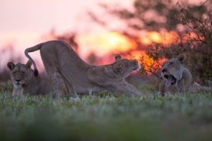 west zambia liuwa plains wildlife photography lion stretching
