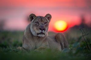 west zambia liuwa plains wildlife photography lion sunset