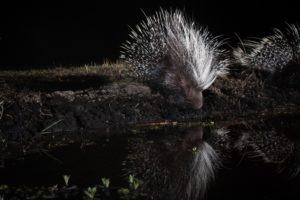 west zambia liuwa plains wildlife photography porcupine