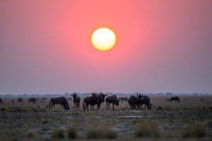 west zambia liuwa plains wildlife photography sunset wildebeest