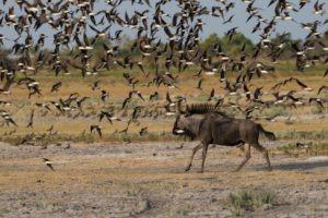 west zambia liuwa plains wildlife photography wildebeest and birds