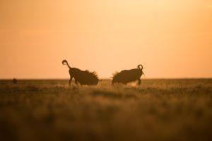 west zambia liuwa plains wildlife photography wildebeest fight