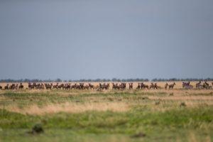west zambia liuwa plains wildlife photography wildebeest migration