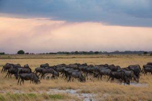 west zambia liuwa plains wildlife photography wildebeest migration africa