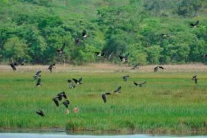 zambia kasanka Abdims Stork