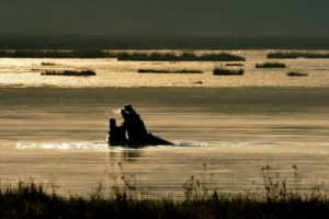 zambia kasanka Hippo Lake Wasa