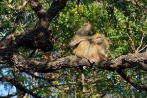 zambia kasanka baboon