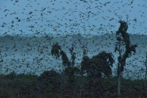 zambia kasanka biggest mammal migration bats