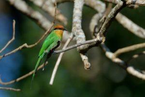 zambia kasanka birding Bohms Bee eater