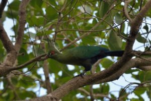 zambia kasanka birding Schalows Turaco