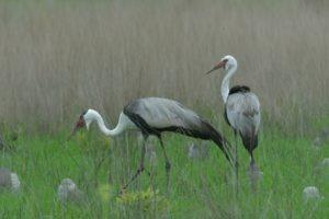 zambia kasanka birding Wattled Crane