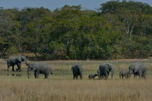zambia kasanka elephant herd