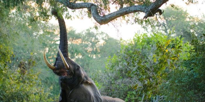 zambia lower zambexi chongwe elephant in camo