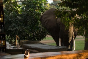 zambia lower zambezi drinks with elephants in camp