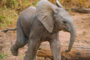 zambia lower zambezi elephant baby big five