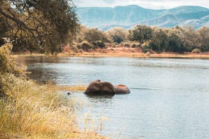 zambia lower zambezi elephant swimming