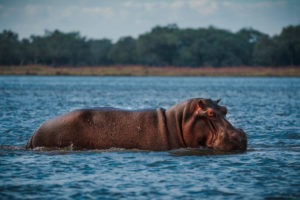 zambia lower zambezi hippo boating safari