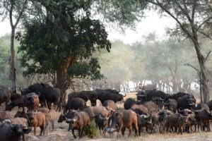zambia lower zambezi sausage tree camp buffalo game drive