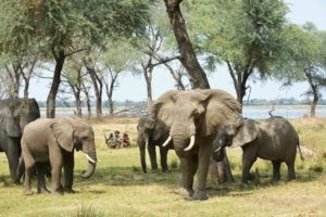 zambia lower zambezi sausage tree camp elephants on foot