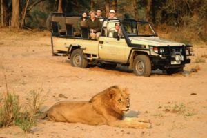 zambia lower zambezi sausage tree camp lion big five