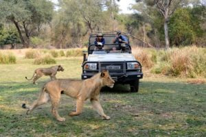 zambia lower zambezi sausage tree camp lion big five safari
