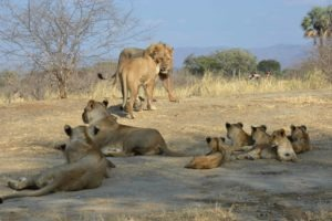 zambia lower zambezi sausage tree camp lion on safari