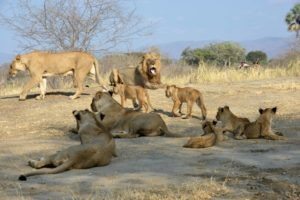 zambia lower zambezi sausage tree camp lion pride on safari