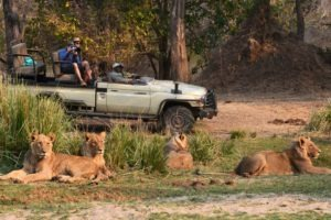 zambia lower zambezi sausage tree camp lion wildlife photography
