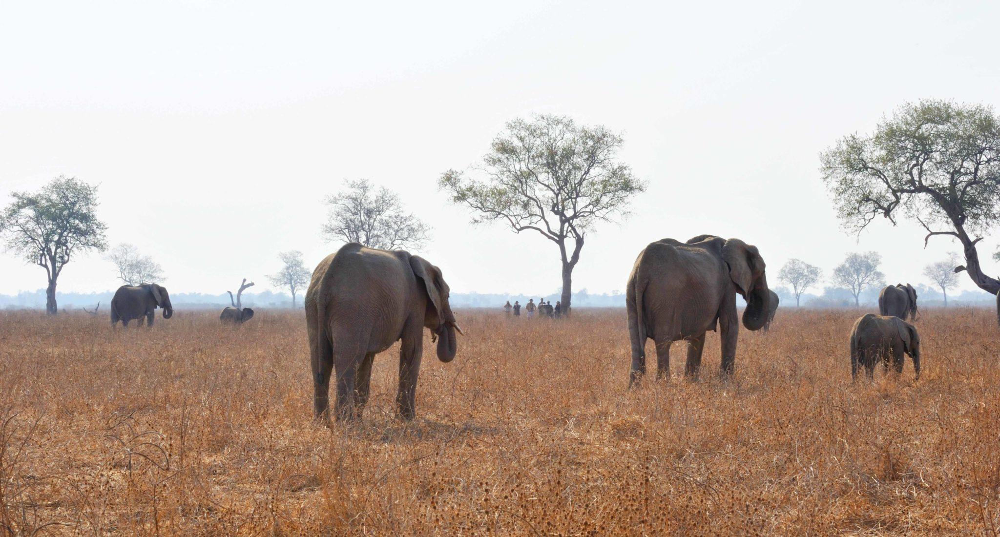 zambia luangwa valley elephant wlaking safari tracking