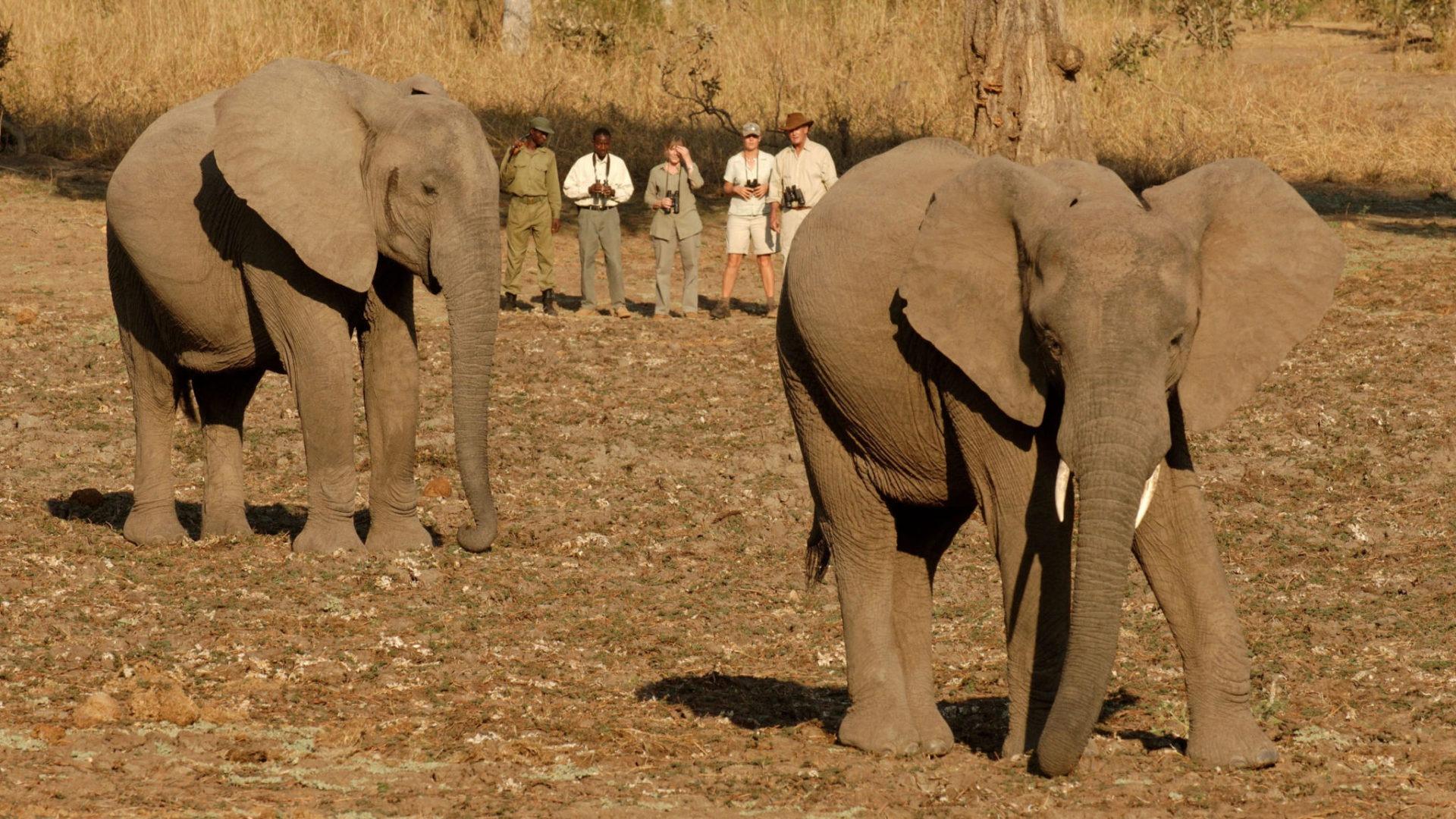 zambia south luangwa walking safari elephant encounter