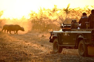 zambia south luangwa walking safari game drive buffalo