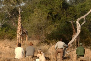 zambia south luangwa walking safari giraffe close up