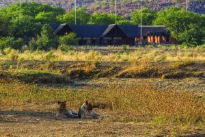 Hobatare Lodge Lion