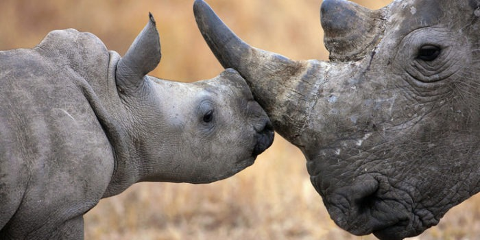 Rhino Closeup