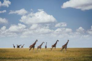 jason tanzania photo giraffe