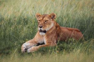 jason tanzania photo lioness grass