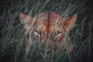 jason tanzania photo lioness stare