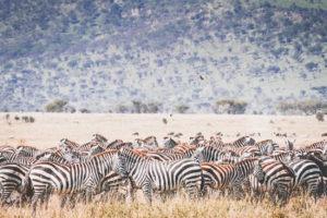 tanzania safaris dazzle zebra
