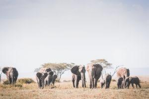 tanzania safaris elephant herd
