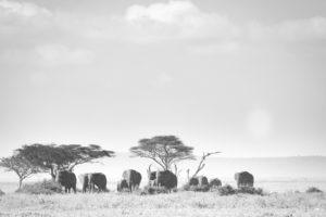 tanzania safaris elephants bw
