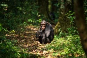 chimpanzee uganda primate trekking