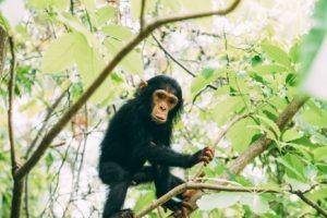 greystoke mahale baby chimp