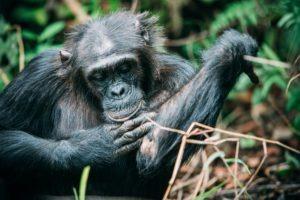 greystoke mahale chimp