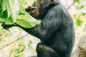 greystoke mahale chimp calling