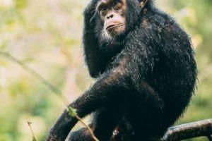greystoke mahale young chimp