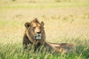 lamai serengeti lion 1