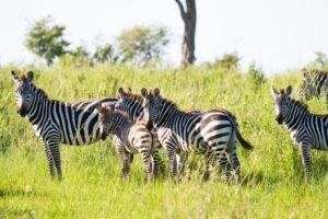 lamai serengeti zebra 1